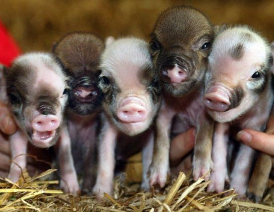 baby pigs
