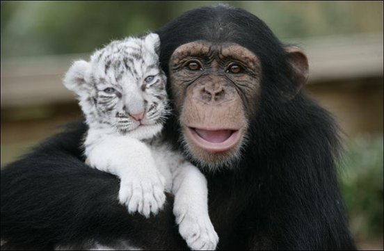 chimpanzee pic