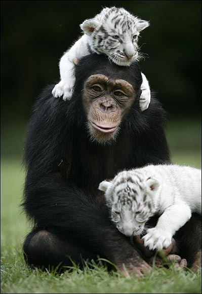 chimpanzee pics