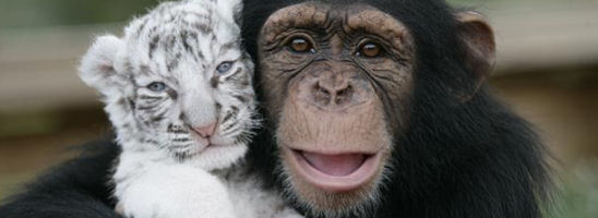 Tiger and Chimpanzee in Love